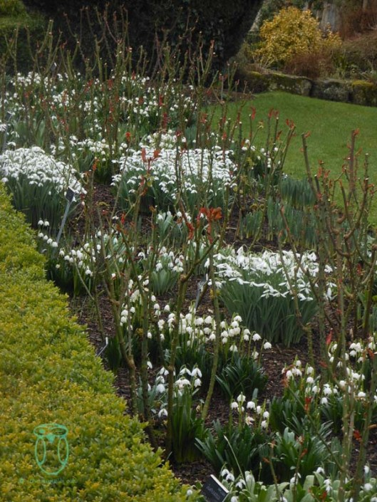 Snowdrops amongst the roses
