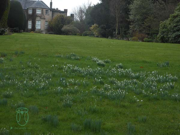 Drift of Natural snowdrops